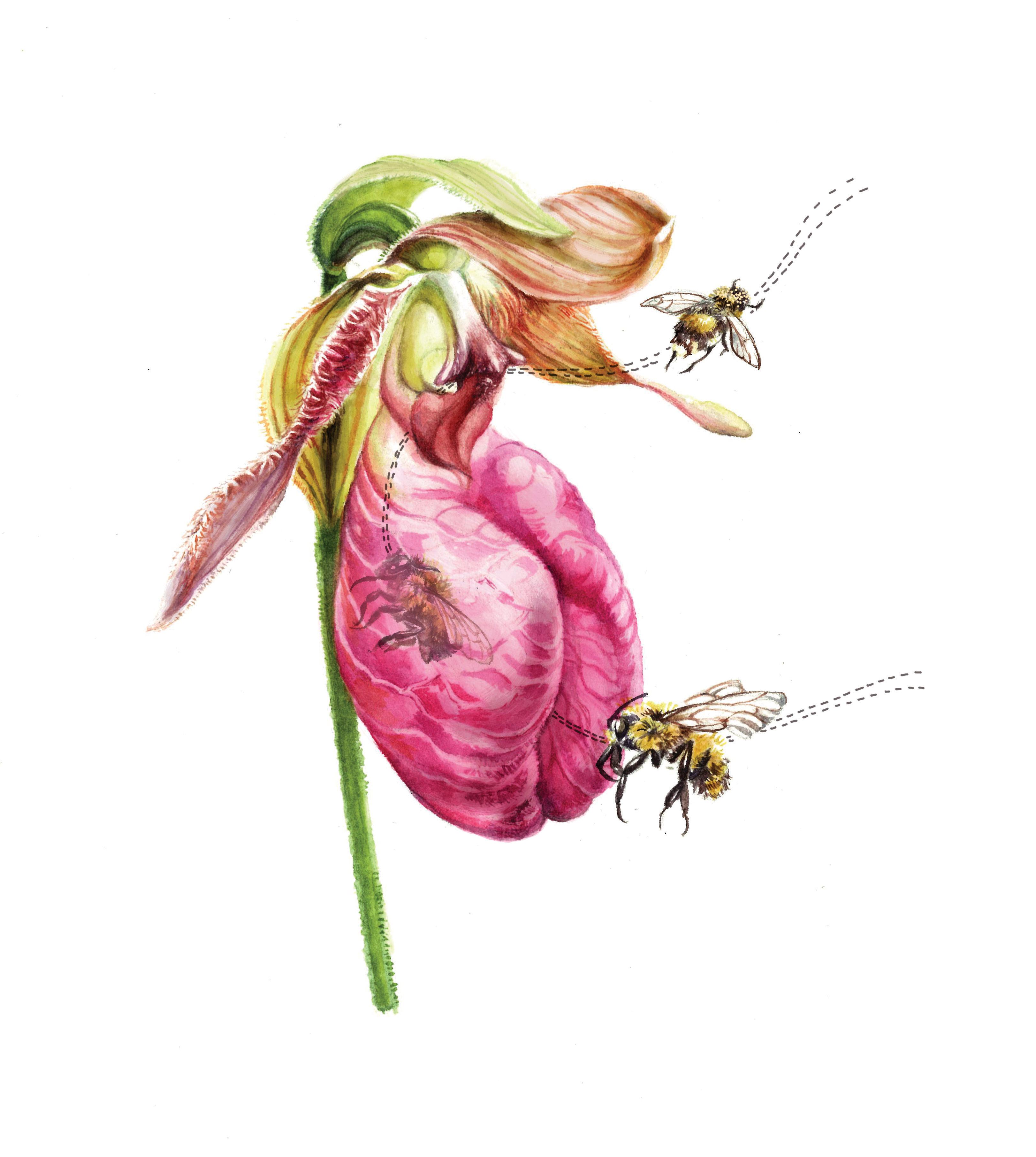 An illustration of pink lady's slipper orchid with bees
