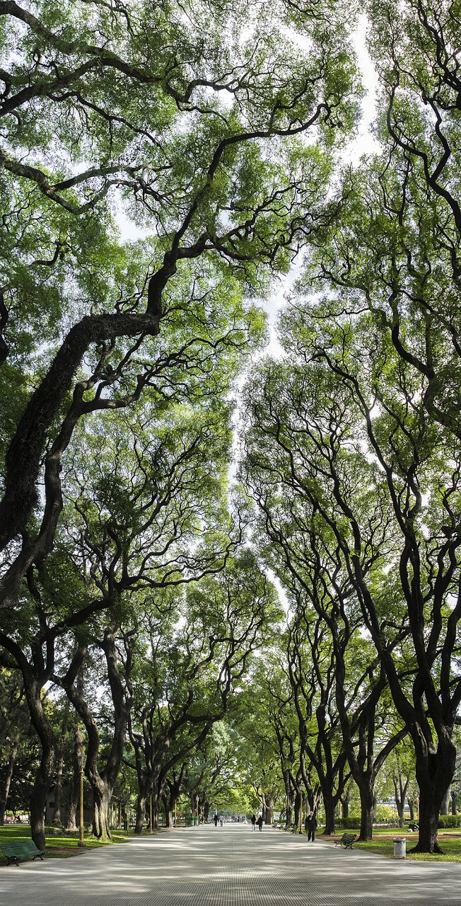 Crown shyness in trees in a city park in Buenos Aires, Argentina.