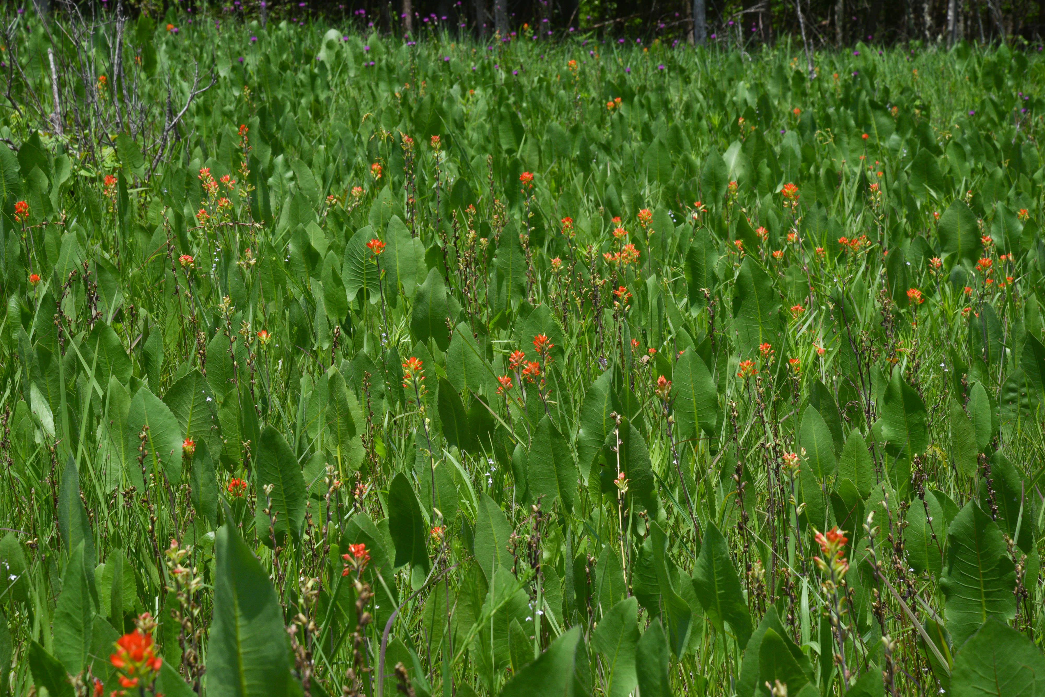 Indian paintbrush and other wildflowers bloom in one of the prairies along the trail.
