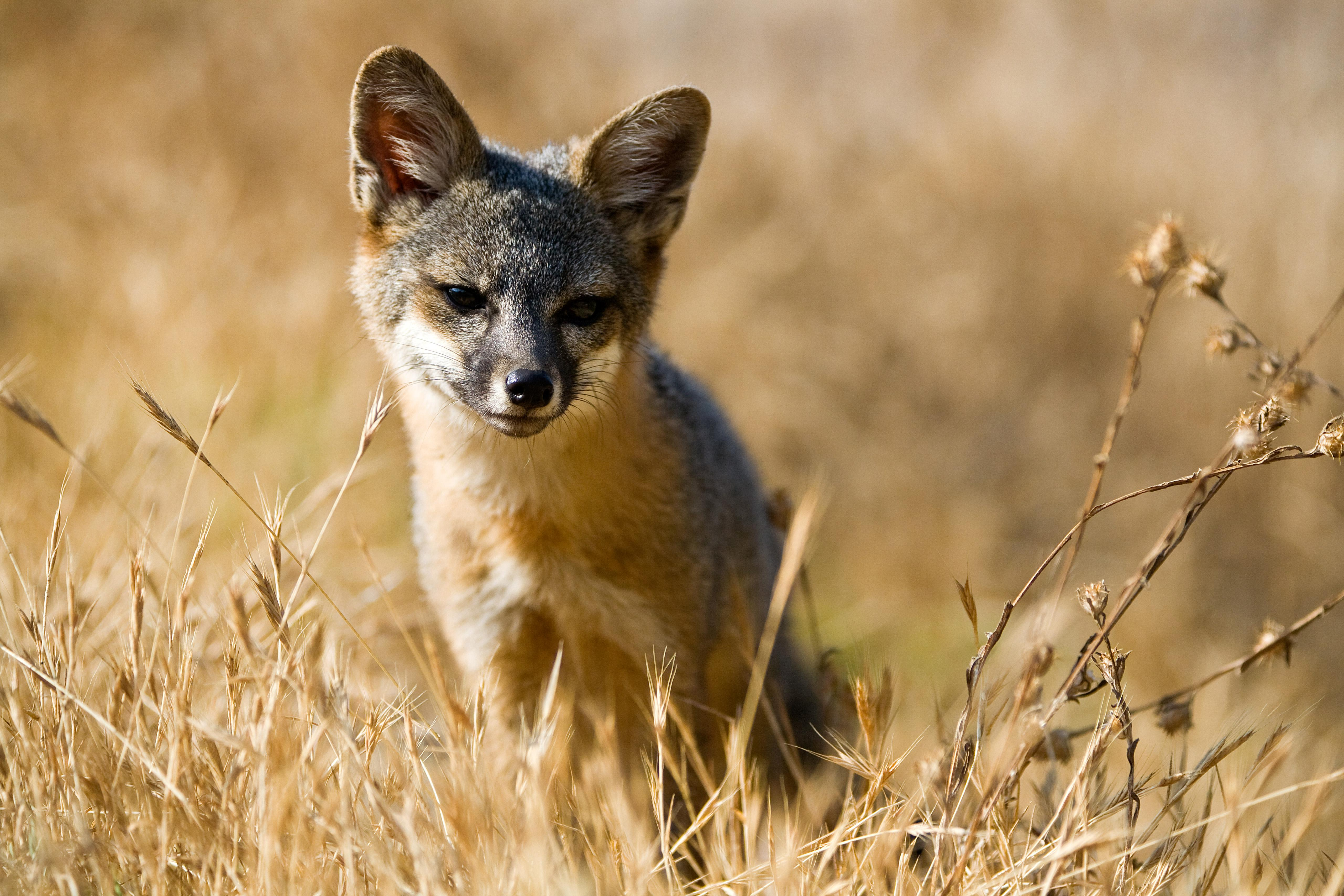 A Santa Cruz Island fox with tilted head