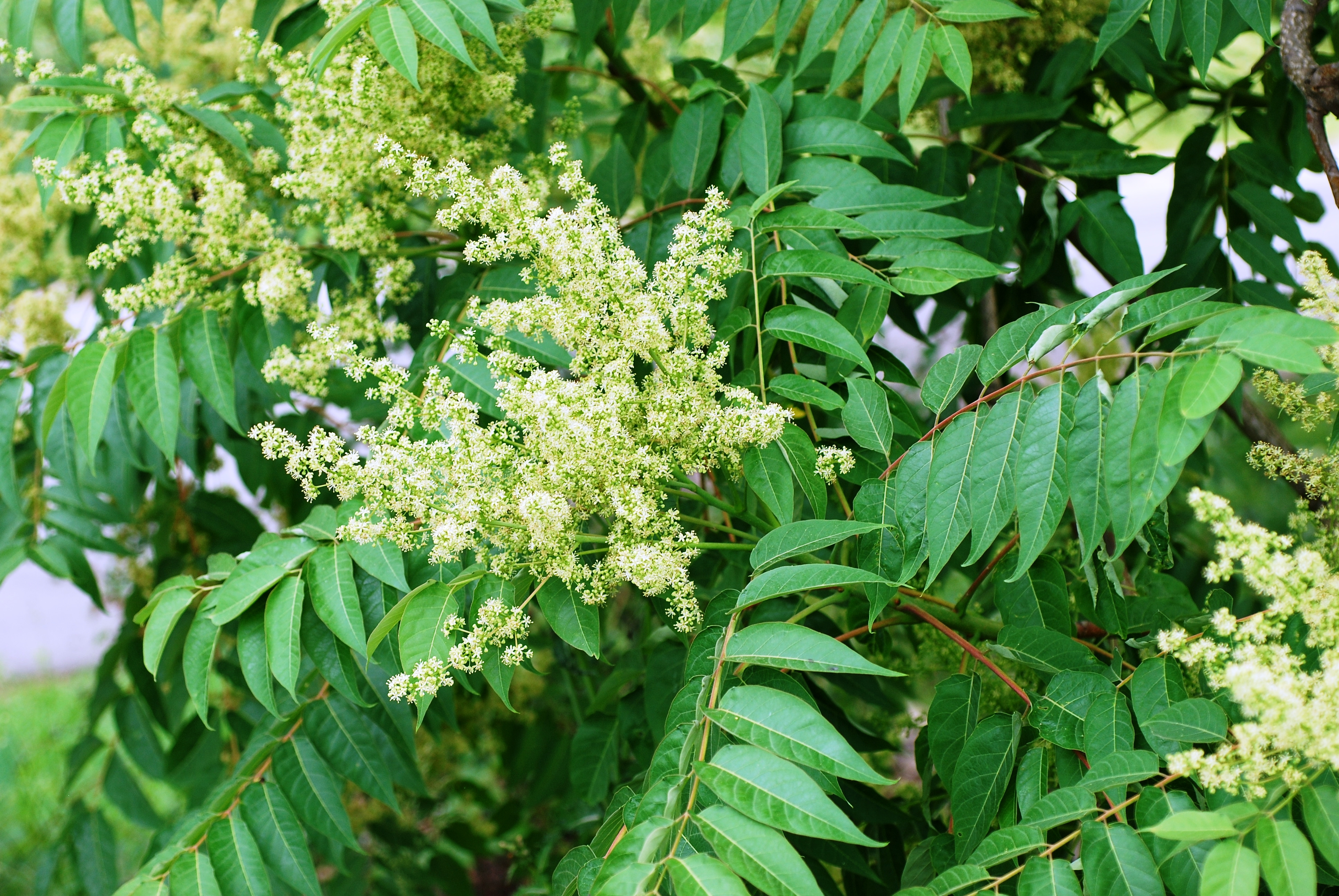 invasive plant species tree of heaven with flowers producing foul scent