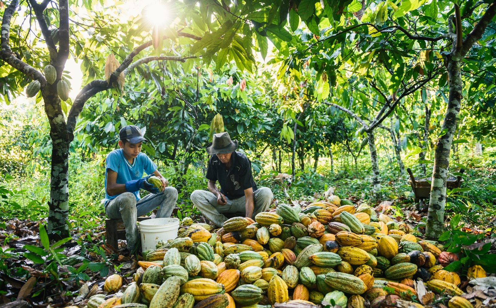 father and son process a pile of cacao seeds while sitting under the shade of a tree in Brazil