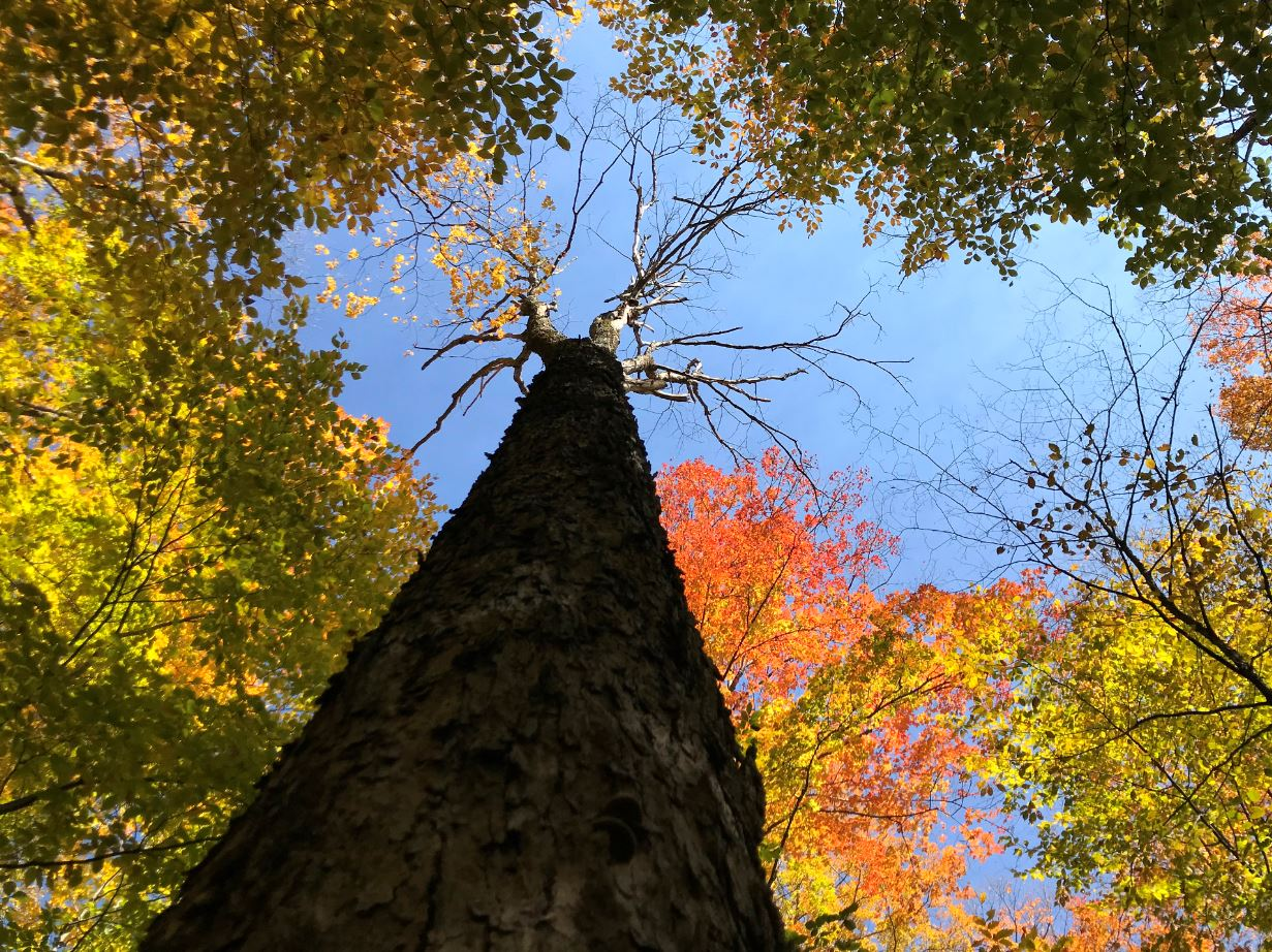 View looking up into the tree canopy with fall foliage.