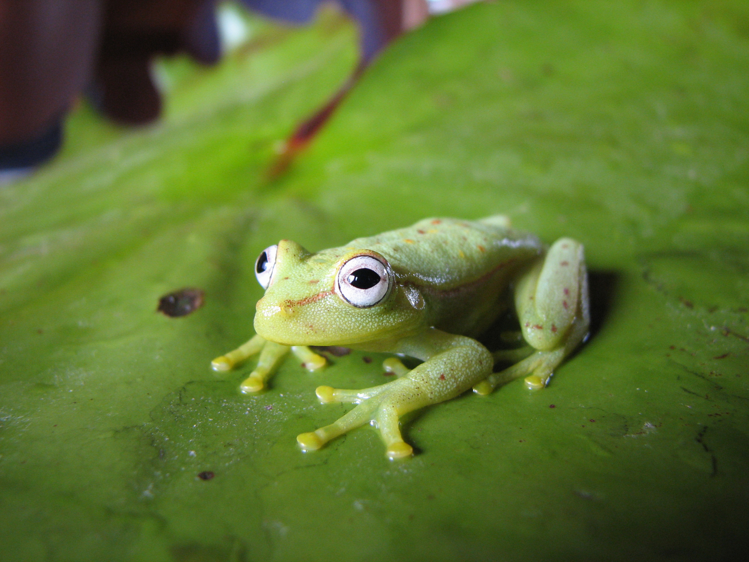 spotted emerald glass frog with green skin and big eyes, sitting on a leaf in the Brazilian Amazon