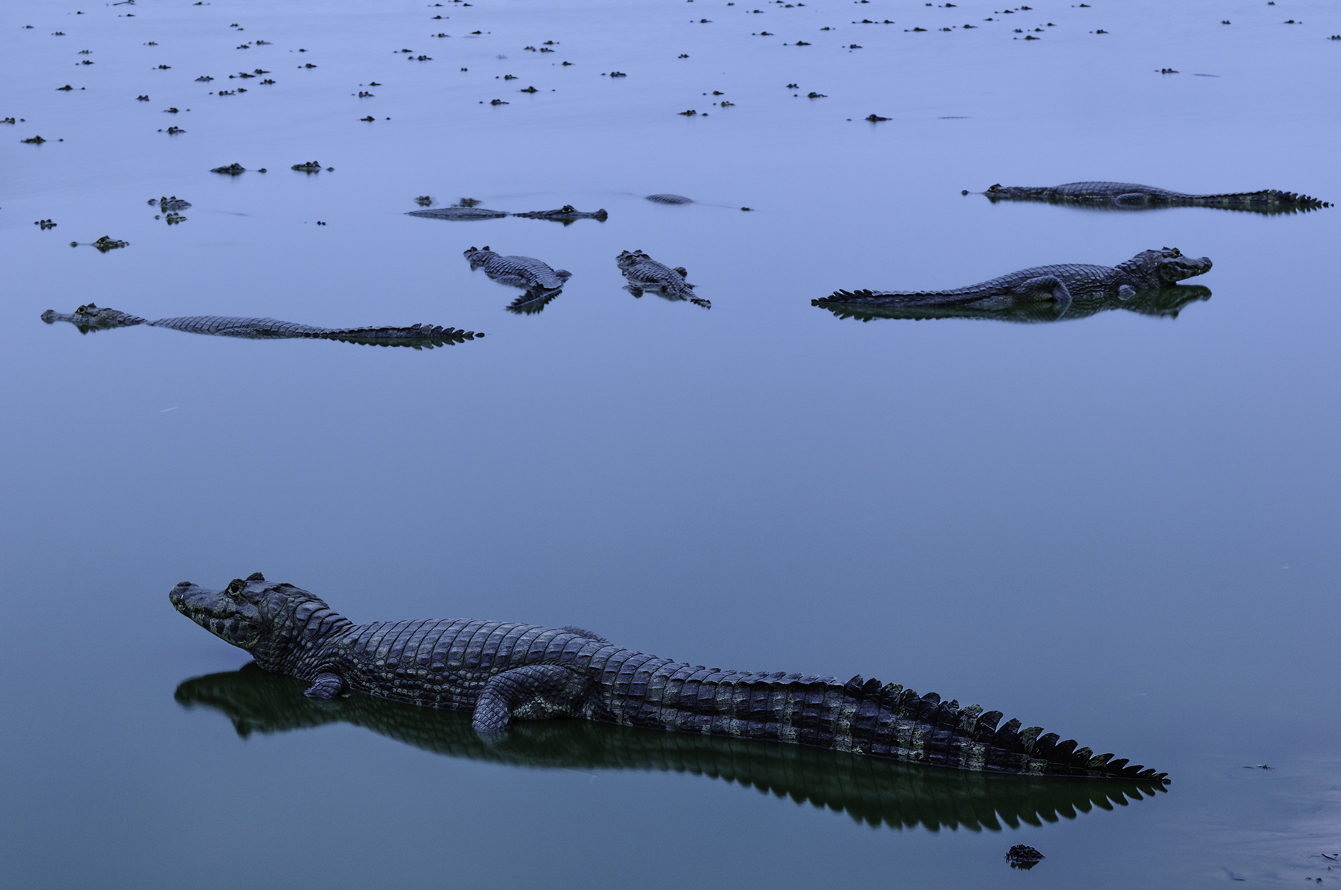 Dozens of alligators in Brazil's Pantanal wetland area.